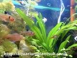 Aquarium Plants Uk Buy Fish Tank Driftwood ,Information