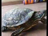 Tortugas de Florida orejas rojas de 25 años . Red eared sliders florida 25 years old