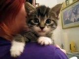 (FUNNY KITTEN VIDEO SERIES) - Original 9 Ounce Talking Kitten?syndication=228326