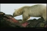 300 Pound Grizzly bear vs 1,200 Pound Polar bears. Watch to see who wins.