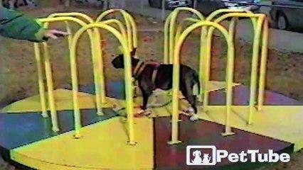 Bull Terrier Balancing Act