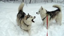 Saskia joue avec Grisloup et une chienne shiba inu