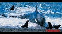 Animales Extraños: Ballenas asesinas atacando. Orcas asesinas cazando!