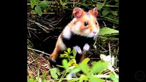 """Hampton the Hamster """"The Hamster dance Song"""" - with Singing Hamsters"""