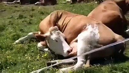 Kendi sütünü içen inek