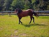 Argentini Quarter e Paint Horse