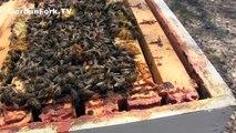 Dead Bees? Hive Inspection Beekeeping 101 : GardenFork.TV
