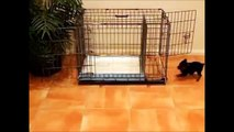 How To Potty Train A Borzoi Puppy - Russian Wolfhound House Training Tips - Borzoi Puppies