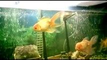 ¿Mueren tus peces? Respuesta Peces boquean en superficie. Temperatura, sobrepoblación.