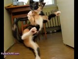 Karate Cats! @ financial Funny Animal Videos   Funny Pet Videos, Funny Cat Videos, Cute Pets