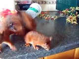 Baby red squirrel kittens explore the kitchen