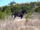cheval de merens