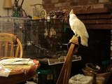 Gimli the Goffin's Cockatoo Screaming (turn down your volume)