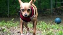 Pet of the Week: Zuko [Italian greyhound/Chihuahua mix]