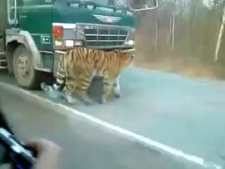 siberian tiger out on the streets in Russia
