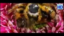 Bees vs Hornet : When Europeen Bees faces Asian Hornet