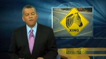 Caught on Tape: Zebras Run Loose in Streets