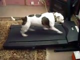 staffy bull terrier working out on a treadmill