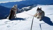 deux Huskies sibériens sur une arête vertigineuse à 4160m d'altitude et une avalanche...