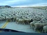 Un énorme troupeau de moutons sur la route (Chili)