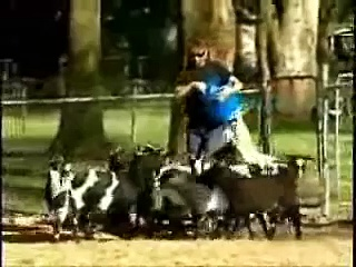 Funny fainting goats