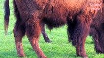 Büffel - Buffalo - Bison