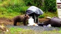 CUTE GRIZZLY BEAR CUBS EAT TRASH bjørnunger Söta björnungar karhunpennuille