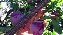 Dwarf Santa Rosa Plum Tree - Pruning Plum Plants Purple Fruits - Planting Types Of Small Fruit Trees