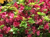 Rhododendrons or Azaleas - Tips for Success