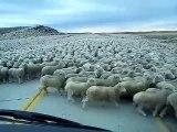 Un énorme troupeau de moutons traverse la route au Chili à Natales