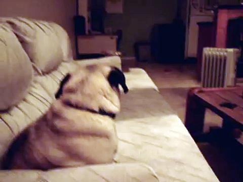 Fred The Pug