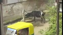 Funny Animal   Funny Cow   So Clever Cow from India   Clever Cattle  Funny Clip   HD