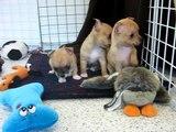 Jones Chihuahuas CKC Reg'd Chihuahua Breeder, Short Coat Puppy Play Time