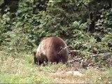 Mrki medvjed; Ursus arctos; Brown Bear; Oso pardo; Бурый медведь; Vila Velebita