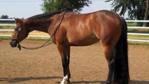 **FOR SALE** SOLID BAY CHIP 2010 SPB MARE BY ALL TIME FANCY