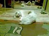 Bichon Maltese puppy barking
