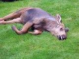 Lulla Bye Moose Babies