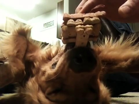 Dog balancing treats while on his back, Jenga dog