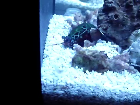 peacock mantis shrimp catching a ghost shrimp