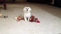 Funny Maltese Dog Getting Crazy when Playing Fetch