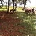 Cow vs Goat great fighting scene