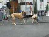 Great Danes playing - Honey babysitting Dane puppy