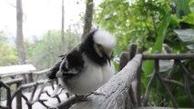 Drôle d'oiseau reproduit les sons humains