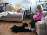 "Giant Schnauzer Puppy 12 weeks Doing ""Roll Over"" trick for my 7 and 4 year old"
