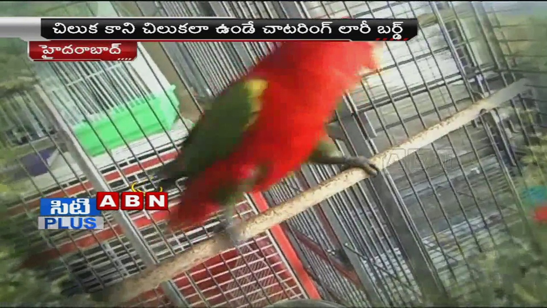 Talking parrots for sale in Pets & Pet Care, Hyderabad (01 - 05 - 2015)