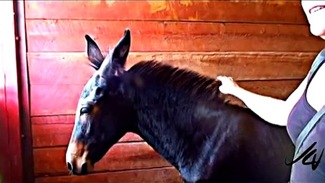 Mules * Breeders know the truth! Stubborn or Smart?