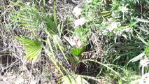 The Monarch Butterfly On A Lantana Bush