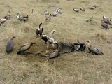 Vultures dining - Vultures eating gnu leftovers