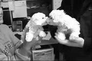Meeting Our Bichon Frise Puppy Muffin at Merry Dawn kennel/breeder in Minonk Illinois near Chicago