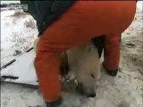 Global warming melting polar bear habitat - BBC wildlife
